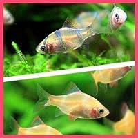 【バリューセット】スマトラ(約2cm)(3匹)+ 白スマトラ(約2cm)(3匹)[生体]