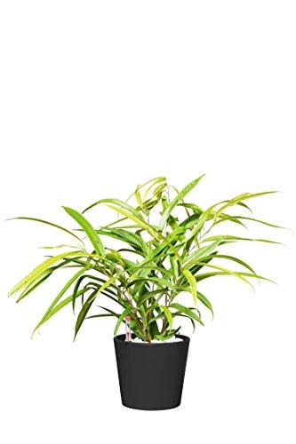 EVRGREEN   Zimmerpflanze Birkenfeige in Hydrokultur mit schwarzem Topf als Set   Ficus Benjamini   Ficus binnendijkii Amstel Gold