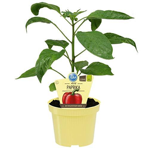 Bio Paprika, Aromatischer Gemüsepaprika, rot reifend, Sorte: Midred, Gemüse Pflanzen aus nachhaltigem Anbau