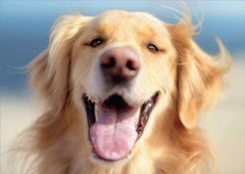 Golden In Wind Golden Retreiver Dog Valentine's Day Card