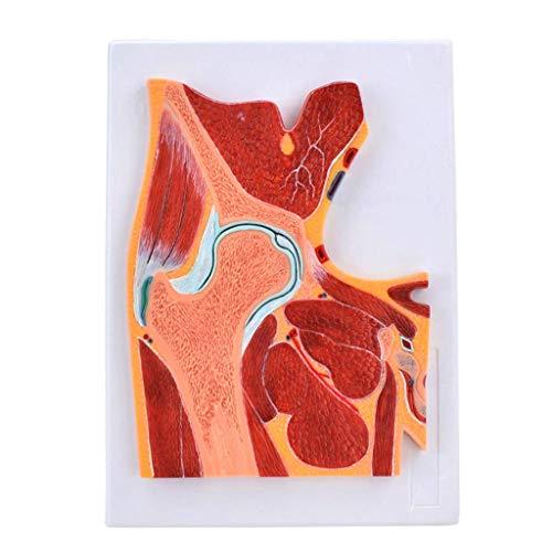 LIBAI Modelo de anatomia de la articulacion de la Cadera Humana - Modelo de musculo esqueletico de la Cadera - PVC Modelo de anatomia de la articulacion Humana Utilizado - Ayuda capacitacion Medica