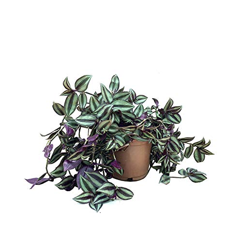 Tradescantia zebrina (maceta 13 cm Ø) - Planta viva de interior