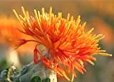 Semi di fiori di cartamo 30+ Carthamus Tinctorius Semi di erbe Kasubha Hong Hua Fiore Organici sorprendenti Semi di erbe cinesi Semi facili da coltivare per giardino