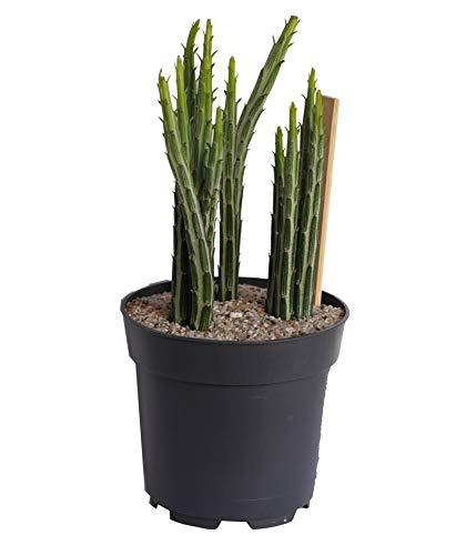 Zuckerstangen-Pflanze, Senecio (10cm Topf, Sorte: 'stapeliaeformisi')