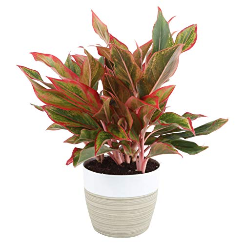 Costa Farms Aglaonema Red Chinese Evergreen Live Indoor Plant, 14-Inches Tall, Ships in Grower's Pot