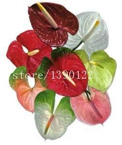 100 pcs / sac Anthurium rare (andraeanum) graines 9 sortes de couleurs bonsaï graines de fleurs balcon de plantes en pot pour le jardin de la maison DIY