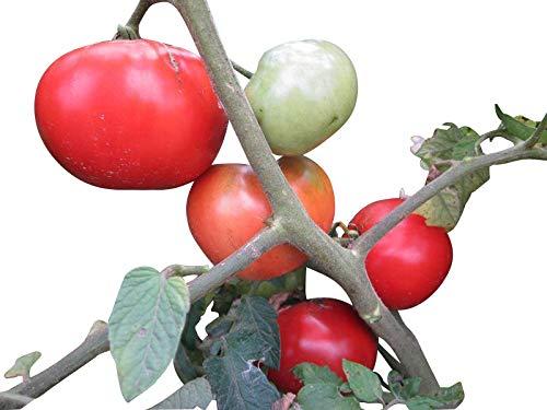 Tomate -Moneymaker- 10 Samen