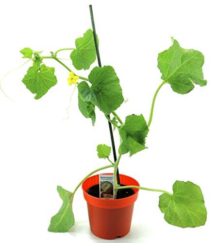 Zuckermelonen Pflanze, frische Zuckermelone aus Nachhaltigem Anbau!