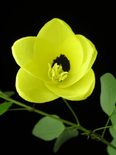 Seedeo Gelber Orchideen-Baum (Bauhinia tomentosa) 20 Samen