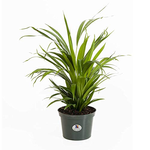 United Nursery Areca Palm Tree Dypsis Lutescens Live Outdoor Indoor House Plant Butterfly Palm Tree Decor Ships in 6 Inch Grower Pot at 12-16 Inches Tall