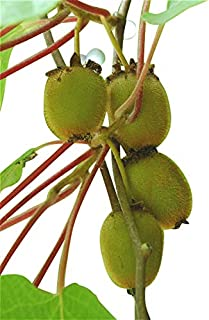 (Kiwi Za#008) Thailand Mini Kiwi Fruit 1pcs/lot(100 Seeds) Bonsai Plants, Delicious Kiwi Small Fruit Trees Seed