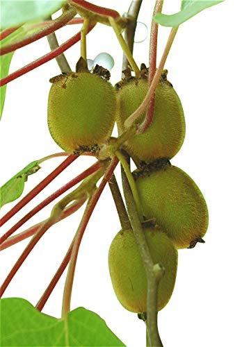 Kiwi Za 008 Thailand Mini Kiwi Fruit 1 Buy Online In Pakistan At Desertcart