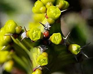 1 Euphorbia Pseudocatus Zig Zag Slow Growing Succulent Live Plant