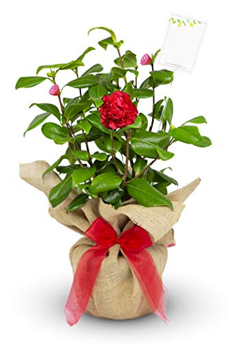 Camellia Ruby Wedding Gift Wrapped with Gift Card in a 3litre Pot - Ruby Wedding Gifts - 40th Golden Wedding Anniversary