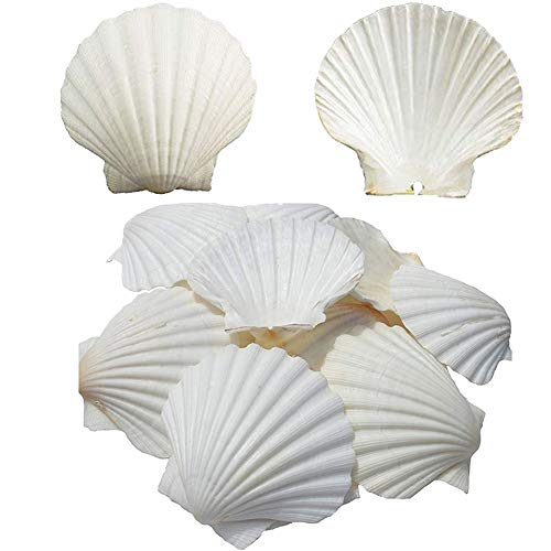 Baking Seashell Scallop Shell Natural From Sea Beach For DIY Craft Decor 4-5 inch (10 pcs)