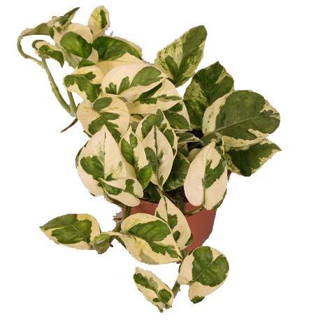 Efeutute, Scindapsus, (Epipremnum aureum) Sorte: N\'Joy, weiss buntes Blattwerk, rankend, Ampelpflanze, luftreinigend (eine Pflanze im 12cm Topf)