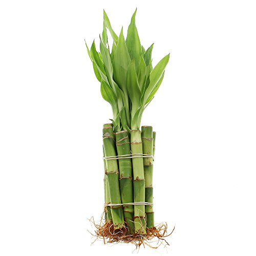 Live Lucky Bamboo 4-Inch Bundle of 10 Stalks - Live Indoor Plants for Home Decor, Arts & Crafts, Zen Gardens and Feng Shui