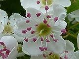 Eingriffelige Weißdorn (Crataegus monogyna) 25 Samen