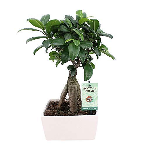 Ficus microcarpa Ginseng | Bonsai Baum | Indoor Zimmerpflanzen | Höhe 30-35cm | Übertopf weiß Ø 15x8cm
