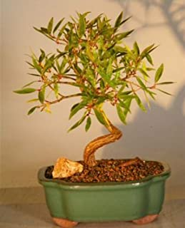 Best willow leaf ficus Reviews