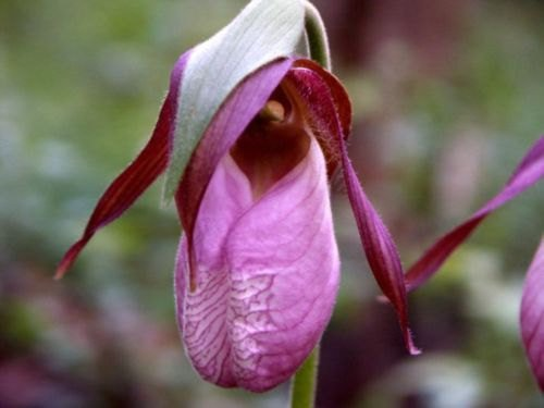 Rosa Frauenschuh Mokassin Blume (Cypripedium acaule) Orchid 200 Seeds