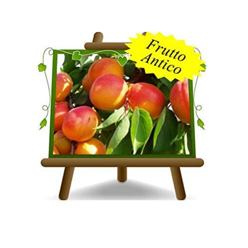 Abricot Pellecchiella - Plante de fruit antique avec porte-greffe de myrobalan sur un arbre de 26 pièces - max 200 cm d'arbre - 4 ans