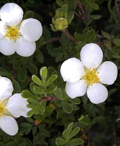 Potentilla fruticosa Abbotswood - Fingerstrauch Abbotswood - Fünffingerstrauch - Preis nach Stückzahl 5 Stück