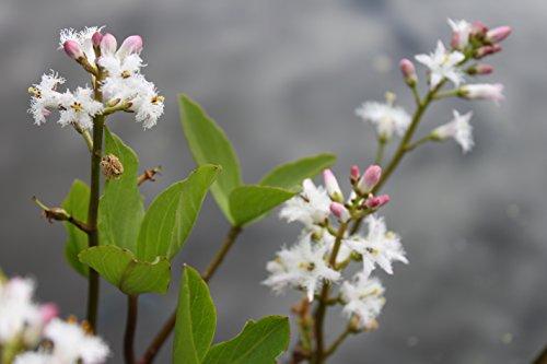 Blume des Jahres 2020 ! - fertig im Pflanzkorb - Menyanthes trifoliata - Bitterklee - Fieberklee, weiß - Wasserpflanzen Wolff