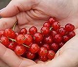 Rovada, rote Johannisbeere,Spätsorte, Busch, 60cm im Topf