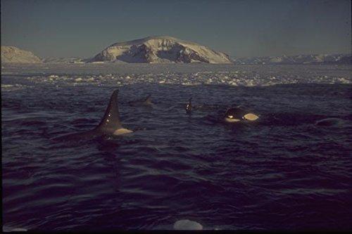 188090 Walvissen gevangen in zee ijs zwembad in de buurt van midden winter A4 Photo Poster Print 10x8