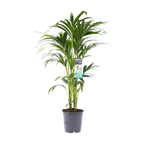 Howea forsteriana | Kentia Palme | Zimmerpflanze | Höhe 100-110 cm | Topf-Ø 21cm