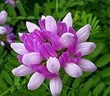 100 semillas milkvetch chinos ~ sinicus astrágalo raíz es Huang Qi en China, Herb/flor