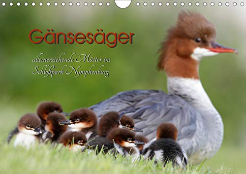 Gänsesäger - alleinerziehende Mütter im Schloßpark Nymphenburg (Wandkalender 2021 DIN A4 quer)