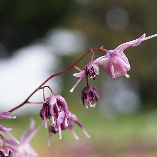 Blumixx Stauden Epimedium grandiflorum 'Lilafee' - Großblütige Elfenblume, im 0,5 Liter Topf, purpurlila blühend