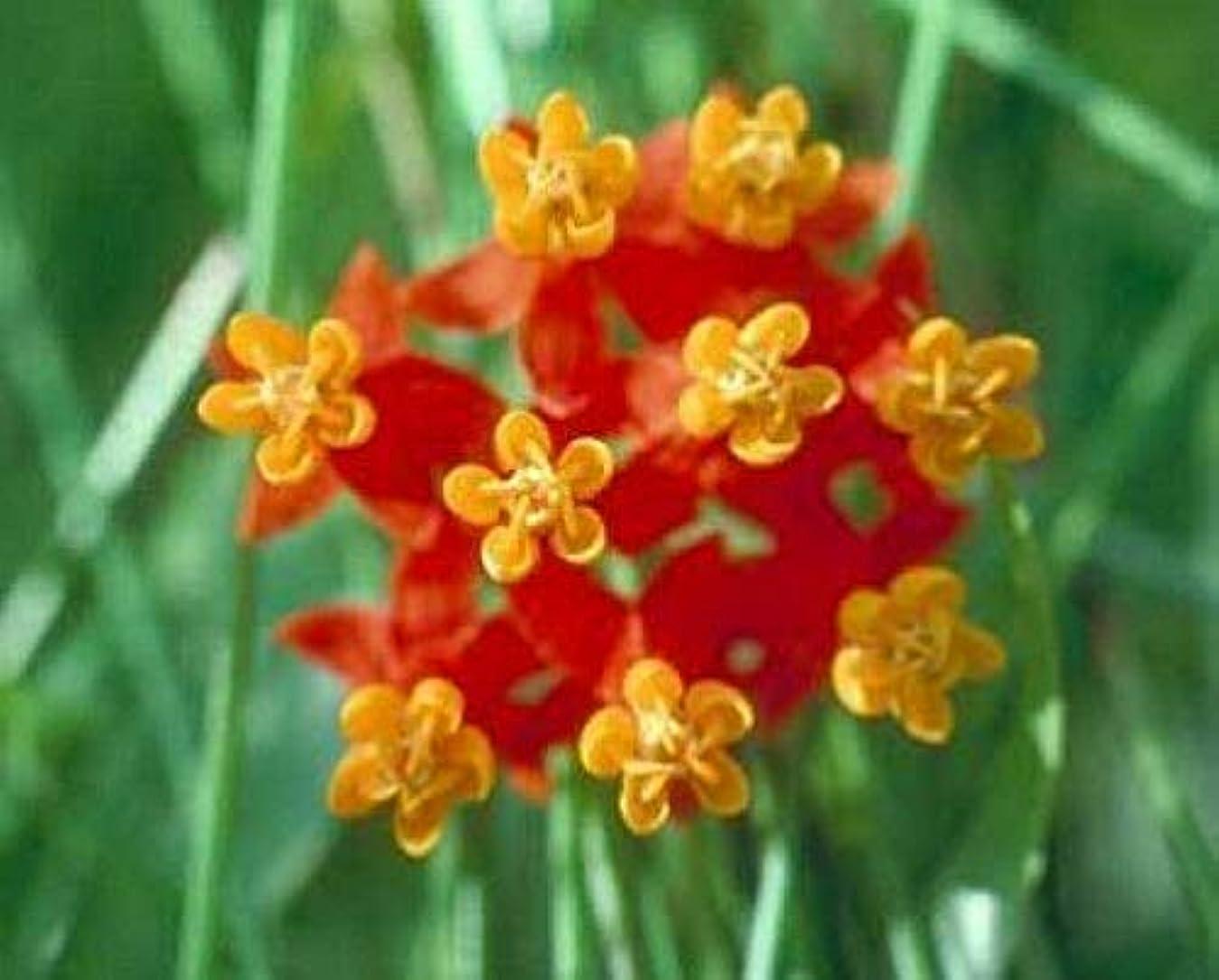 集団影響言う種子パッケージ:トウワタレッドerfly(モナークホスト種子)10個の種子