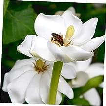 TYU Gardenia Thunbergia Forest Tree Seeds - LY1610 (25 Seeds)