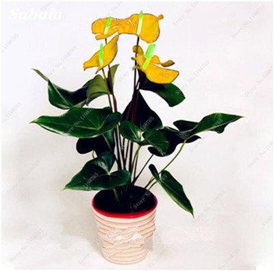 120 Pcs Japon Mix Couleurs Anthurium Graines rares Graines de fleurs Balcon Plantes en pot Bonsai pour bricoler jardin Livraison gratuite 3
