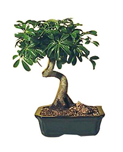Bonsaiboy Hawaiian Umbrella Bonsai Tree - Medium Coiled Trunk Style Arboricola Schefflera Luseanne