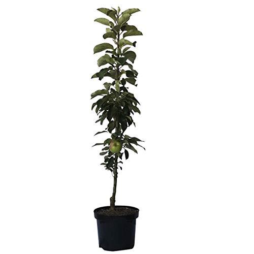 Müllers Grüner Garten Shop 1a-plant Jarle (R) Säulenapfel aus Arbat + Red River Geschmackssieger! 80-120 cm im 7,5 Liter Topf, M7