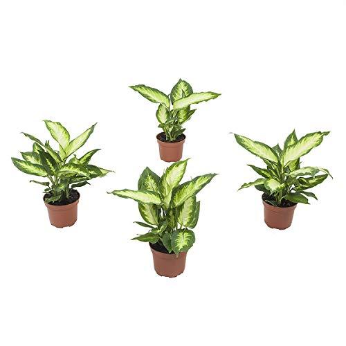 Plantes d'intérieur de Botanicly – 4 × Dieffenbachia Camilla – Hauteur: 30 cm