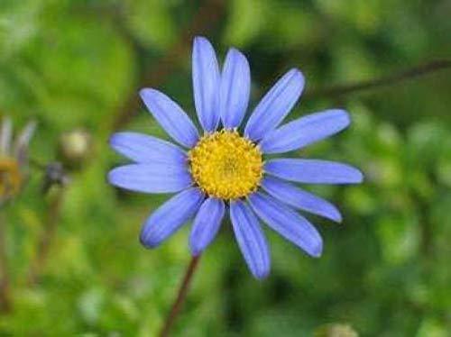 50 Seeds Blue Rice Button Aster Dumosus Flower (MTB)Flat Shipping Can Grow in Pot/Garden
