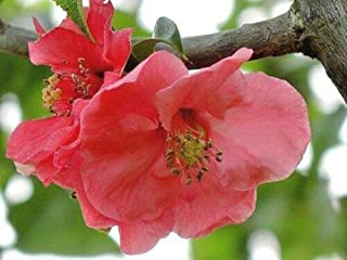 20 Pink Lady Japanese Quince Seeds - Chaenomeles speciosa