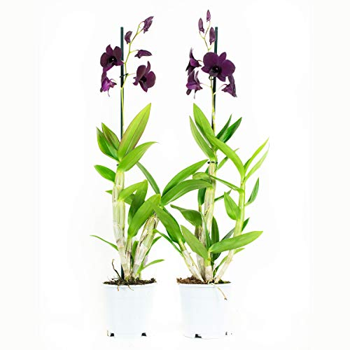 Orquídeas de Botanicly – 2 × Dendrobium Sa-Nook – Altura: 60 cm, 1 brote