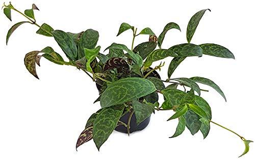 Aeschynanthus Marmoratus Gr.