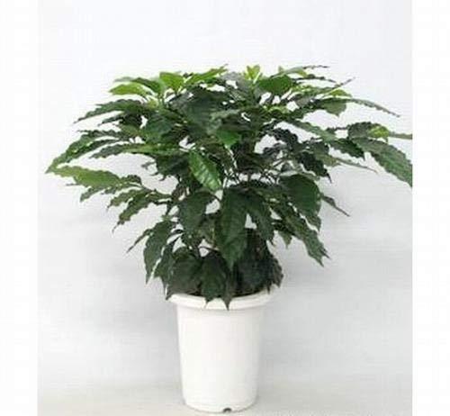 プランツネット(Plants Net) 観葉植物 コーヒーの木 7号 K0103547 2入