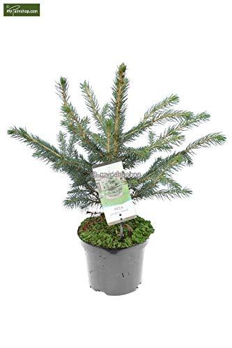 Blaufichte Stechfichte - Picea pungens Glauca - 50-60cm im 3 Ltr. Topf
