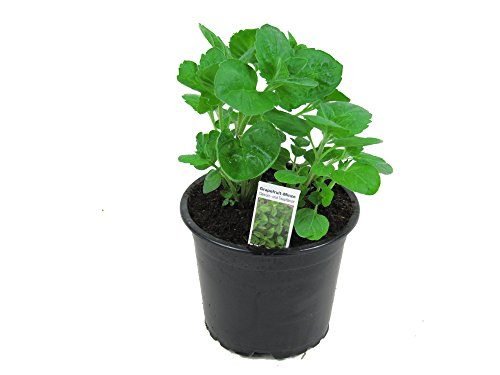 Grapefruit-Minze, Minze Pflanze, Winterhart (Mentha suaveolens x piperita)
