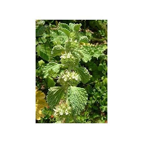 GETSO Gemeiner Andorn - Marrubium vulgare - 100 Samen