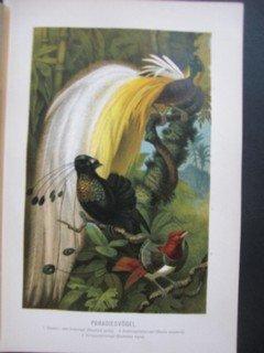 Paradiesvögel. Farblithographie mit drei Vögeln im Dschungel (Göttervogel / Paradisea apoda; Strahlenparadiesvogel / Parotia sexpennis; Königsparadiesvogel / Cicinnurus regius)