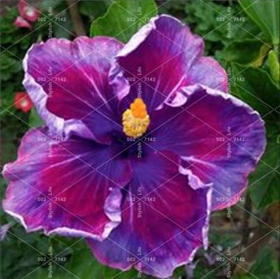 SANHOC 100 Pcs bonsaï géant Chinois Fleur d'hibiscus Bricolage Hibiscus Plante Flores Cadeau pour Vos Enfants Easy Grow Jardin Décoration: 14